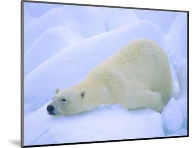 Adult Polar Bear (Ursus Maritimus) Cleaning Its Fur on the Snow. Svalbard, Arctic Norway.-Wayne Lynch-Mounted Photographic Print