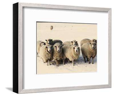 Sheep in winter-Edvard March-Framed Photographic Print