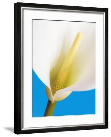 Common calla-Frank Krahmer-Framed Photographic Print