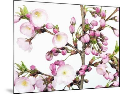 Cherry blossoms-Frank Krahmer-Mounted Photographic Print