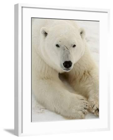 Polar bear (Ursus maritimus)-Don Johnston-Framed Photographic Print
