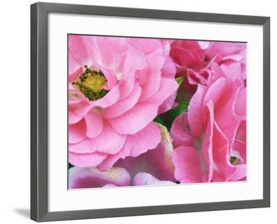 Pink roses-Frank Krahmer-Framed Photographic Print