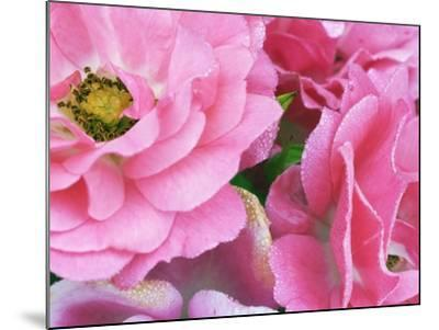 Pink roses-Frank Krahmer-Mounted Photographic Print