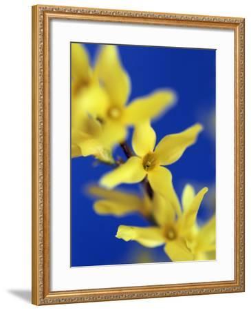 Forsythia flowers-Frank Krahmer-Framed Photographic Print