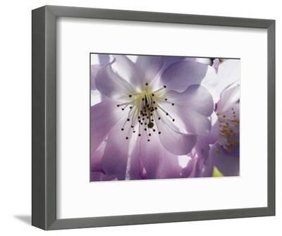 Cherry blossoms-Frank Krahmer-Framed Photographic Print