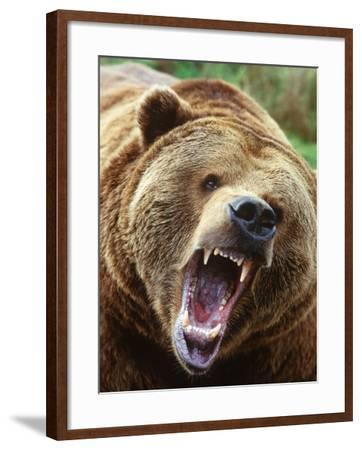 Coastal Grizzly Bear (Ursus Horribilus), Full Face Snarling, British Columbia, Canada.-Chris Cheadle-Framed Photographic Print
