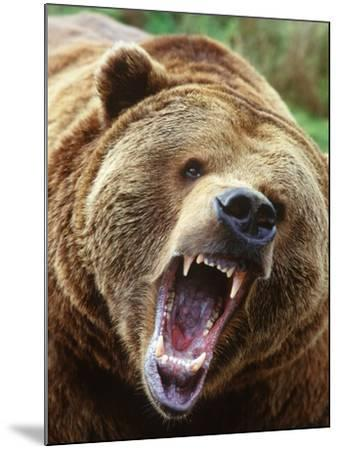 Coastal Grizzly Bear (Ursus Horribilus), Full Face Snarling, British Columbia, Canada.-Chris Cheadle-Mounted Photographic Print