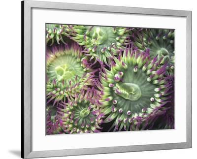 Pink-tipped Surf Anemones, Dodd Narrows, Southern Gulf Islands, Vancouver Island, British Columbia,-Carole Valkenier-Framed Photographic Print