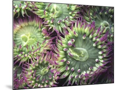 Pink-tipped Surf Anemones, Dodd Narrows, Southern Gulf Islands, Vancouver Island, British Columbia,-Carole Valkenier-Mounted Photographic Print