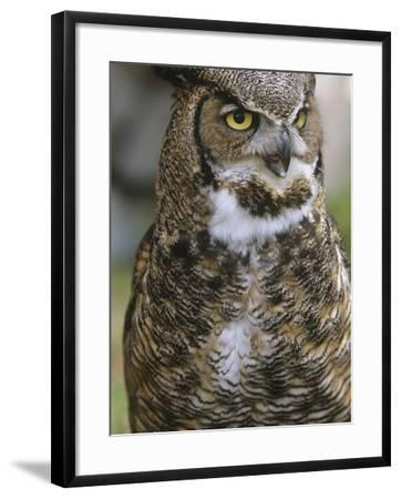 Great Horned Owl, Bubo Virginianus, British Columbia, Canada.-Ian McAllister-Framed Photographic Print