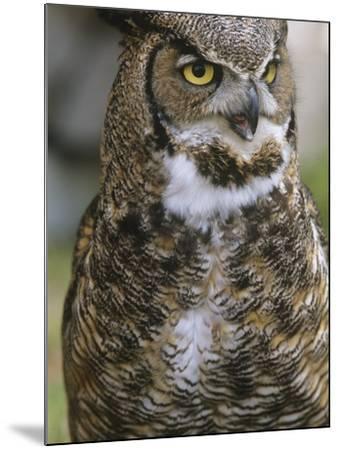 Great Horned Owl, Bubo Virginianus, British Columbia, Canada.-Ian McAllister-Mounted Photographic Print