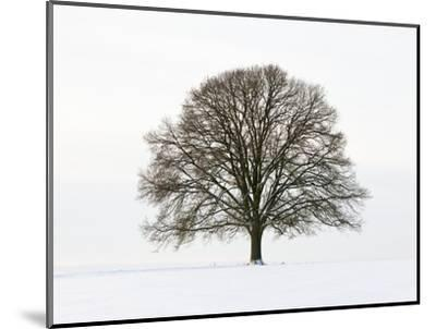 Old oak tree on a field in snow-Frank Lukasseck-Mounted Photographic Print