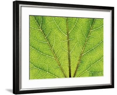 Veins in a grapevine leaf-Frank Krahmer-Framed Photographic Print