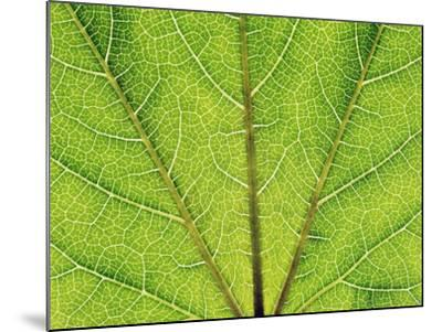 Veins in a grapevine leaf-Frank Krahmer-Mounted Photographic Print