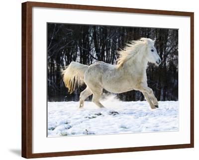 Elderly Welsh-Arab pony running on snow covered meadow-Frank Lukasseck-Framed Photographic Print