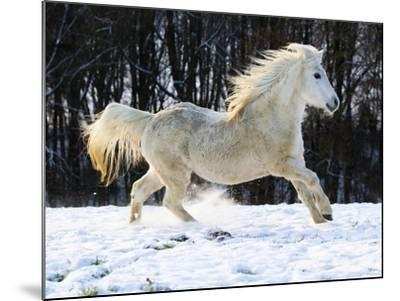 Elderly Welsh-Arab pony running on snow covered meadow-Frank Lukasseck-Mounted Photographic Print