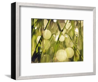 Leaves of grass with dew drops-Frank Krahmer-Framed Photographic Print