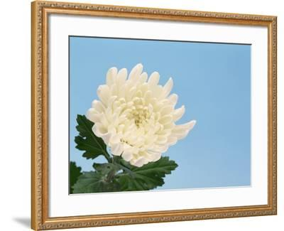 Close-up of White Chrysanthemum--Framed Photographic Print