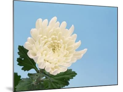 Close-up of White Chrysanthemum--Mounted Photographic Print