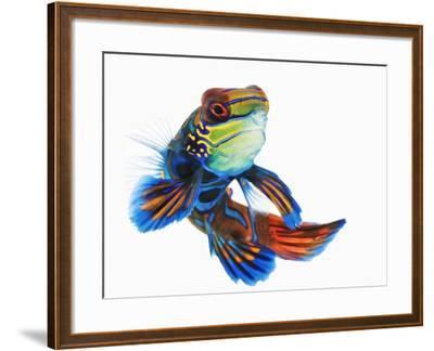 Mandarinfish-Martin Harvey-Framed Photographic Print