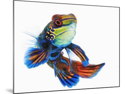 Mandarinfish-Martin Harvey-Mounted Photographic Print