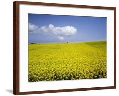 Field of oilseed rape, Yokohama, Aomori Prefecture, Japan-Aso Fujita-Framed Photographic Print