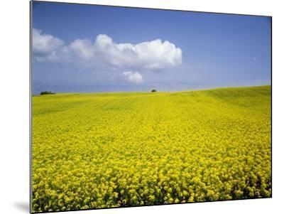 Field of oilseed rape, Yokohama, Aomori Prefecture, Japan-Aso Fujita-Mounted Photographic Print