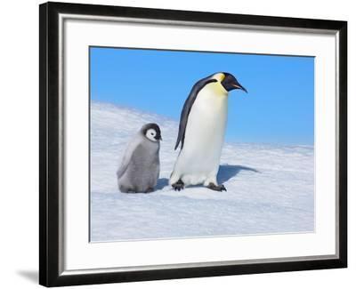 Emperor penguins-Frank Krahmer-Framed Photographic Print