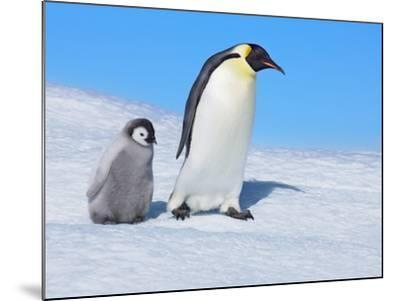 Emperor penguins-Frank Krahmer-Mounted Photographic Print