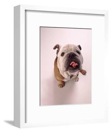 English bulldog--Framed Photographic Print