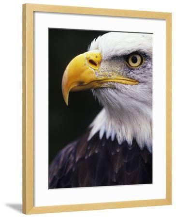 Bald Eagle (Haliaeetus leucocephalus)-Andrew McLachlan-Framed Photographic Print