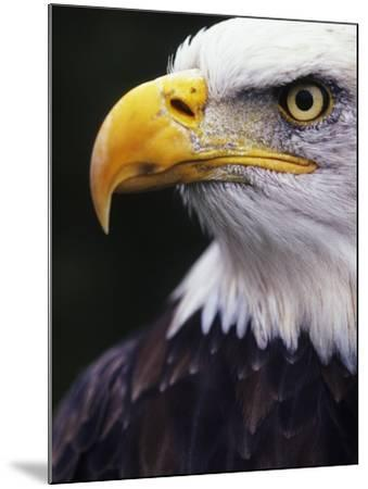 Bald Eagle (Haliaeetus leucocephalus)-Andrew McLachlan-Mounted Photographic Print