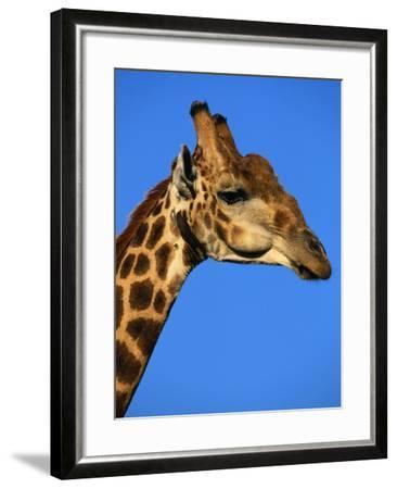 Red-Billed Oxpecker on Giraffe's Head--Framed Photographic Print