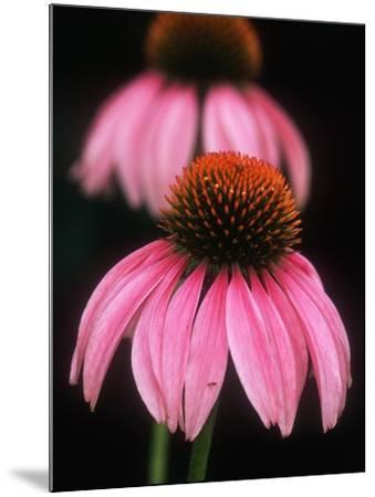 Echinacea Plant--Mounted Photographic Print