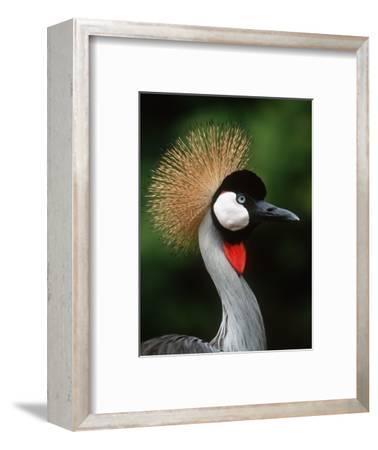 Grey Crowned Crane-Martin Harvey-Framed Photographic Print