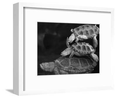 Turtles Underwater-Henry Horenstein-Framed Photographic Print