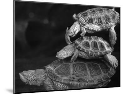 Turtles Underwater-Henry Horenstein-Mounted Photographic Print