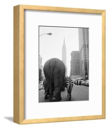 Circus Animals on 33rd Street-Bettmann-Framed Photographic Print
