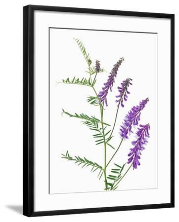 Vicia-Frank Krahmer-Framed Photographic Print