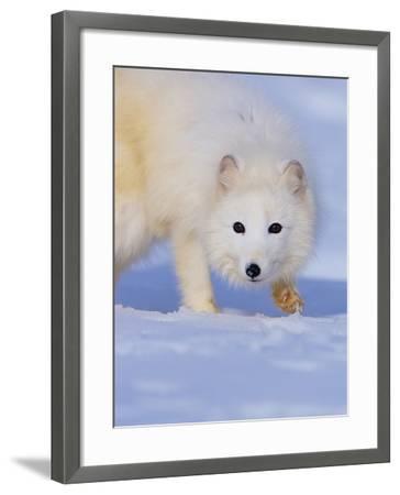 Arctic Fox Walking Across Snow-Theo Allofs-Framed Photographic Print