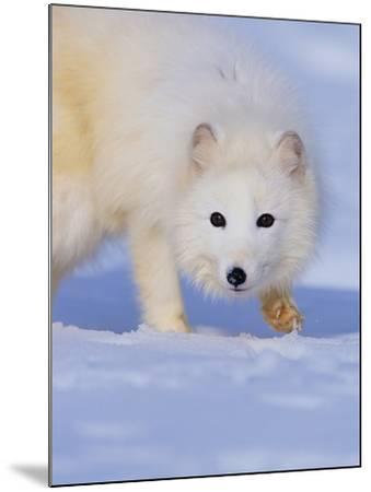 Arctic Fox Walking Across Snow-Theo Allofs-Mounted Photographic Print