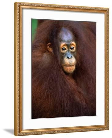 Young Orangutan in Mother's Arm-Theo Allofs-Framed Photographic Print