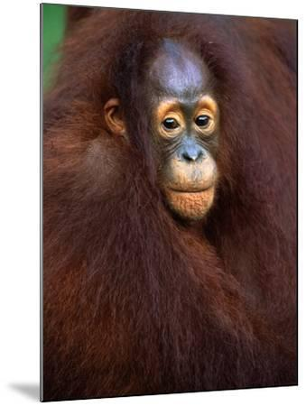 Young Orangutan in Mother's Arm-Theo Allofs-Mounted Photographic Print