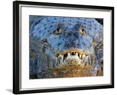 Adult Spectacled Caiman in Brazil-Theo Allofs-Framed Photographic Print