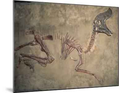 Cretaceous Lambeosaurus Dinosaur Fossil-Kevin Schafer-Mounted Photographic Print