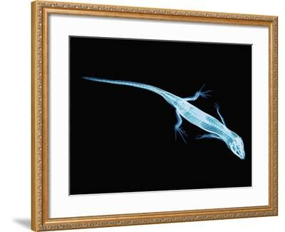 X-Ray of Lizard-Robert Llewellyn-Framed Photographic Print