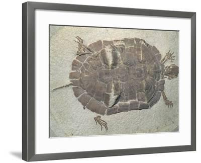 Eocene Echmatemys Fossil Turtle-Kevin Schafer-Framed Photographic Print