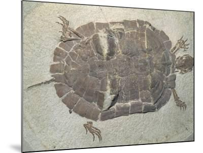 Eocene Echmatemys Fossil Turtle-Kevin Schafer-Mounted Photographic Print