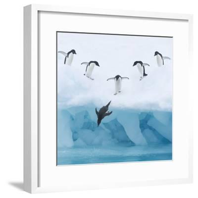 Penguins Jumping into Water-Tim Davis-Framed Photographic Print