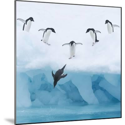 Penguins Jumping into Water-Tim Davis-Mounted Photographic Print